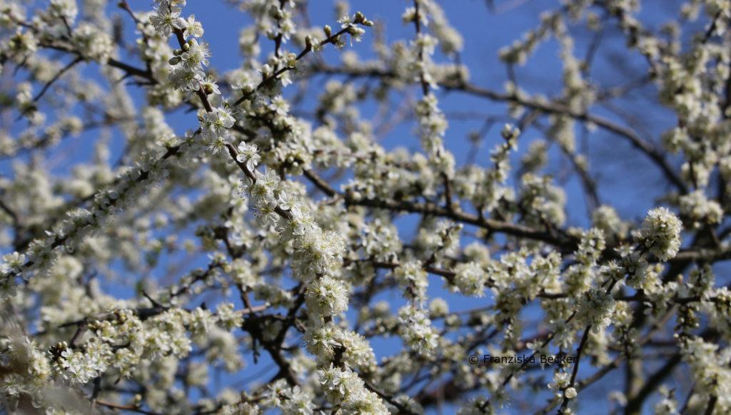 FrühlingBlüten