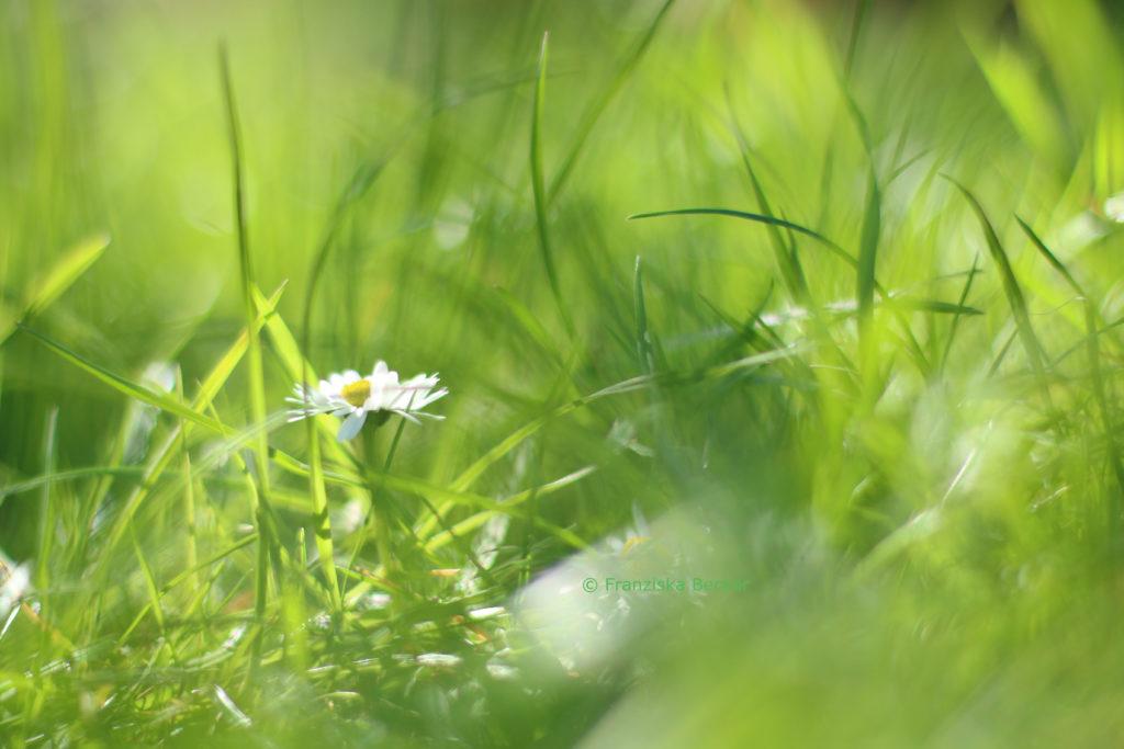 WieseGaensebluemchen