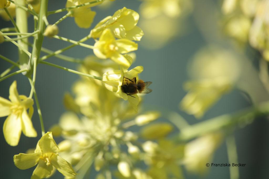 Wildbiene an Kohlrabiblüte