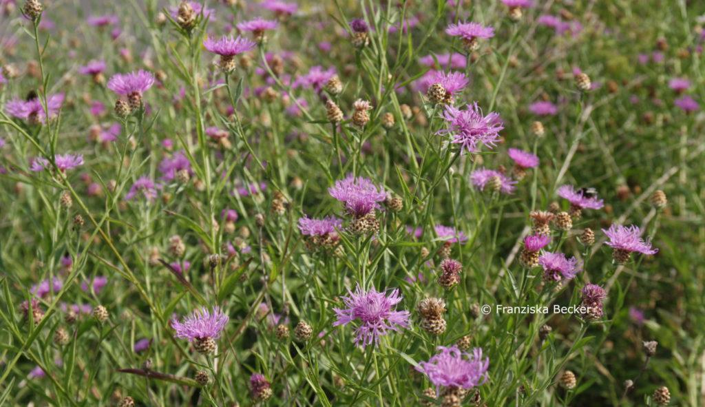 Skabiosen-Flockenblume Blütenmeer