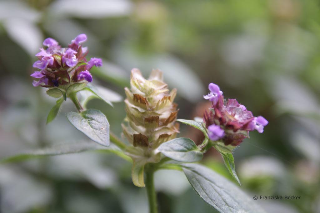 Samenstand Blütenbildung Kleine Braunelle