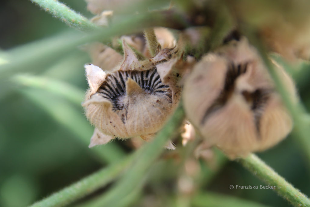 Samen der Stockrose