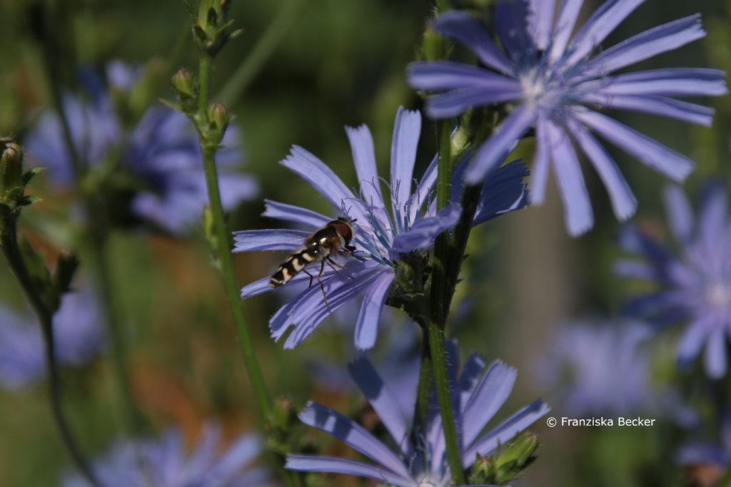 Späte Großstirnschwebfliege auf Blüte der Wegwarte