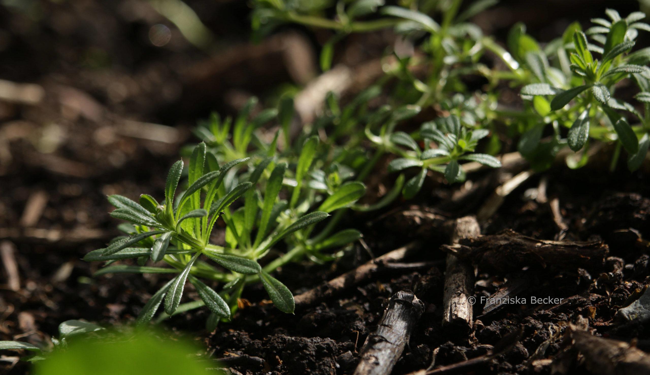 Kletten-Labkraut-Pflanze